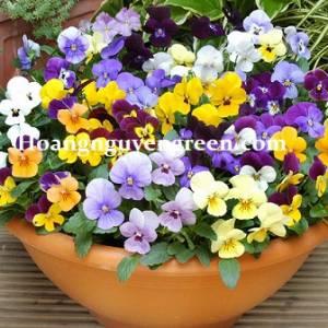 Cây Viola Flower