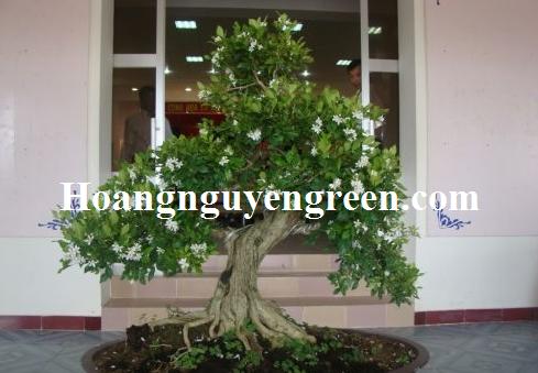 Bán cây hoa nguyệt quế giá rẻ