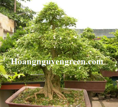 Bán cây hoa nguyệt quế