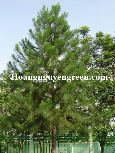 Bán cây thông caribe