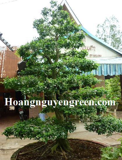 Bonsai cây hoa nguyệt quế