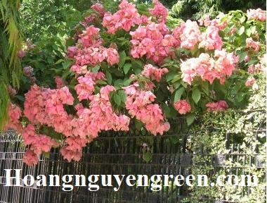 Cây bướm hồng trồng viền