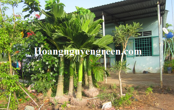 Cây cau lùn trồng sân nhà