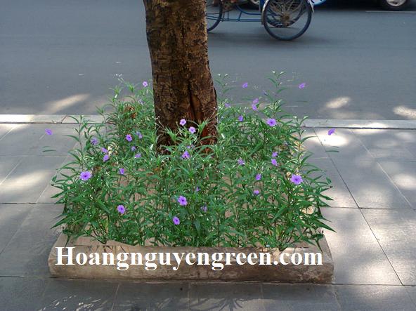 Cây hoa chiều tím trồng nền