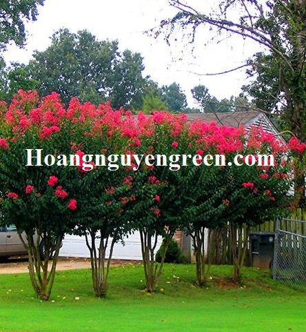 Cây hoa tường vy trồng viền