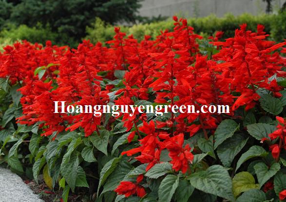 Cây hoa xác pháo trồng viền