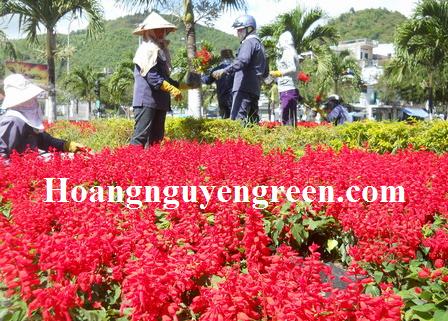 Chăm sóc cây hoa xác pháo