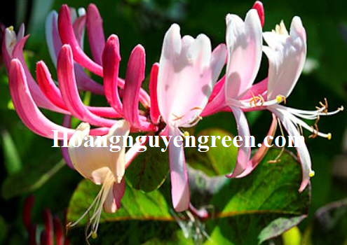 Hoa kim ngân màu hồng