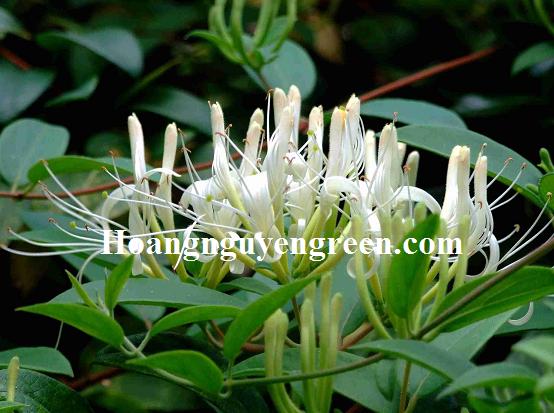 Hoa kim ngân màu trắng