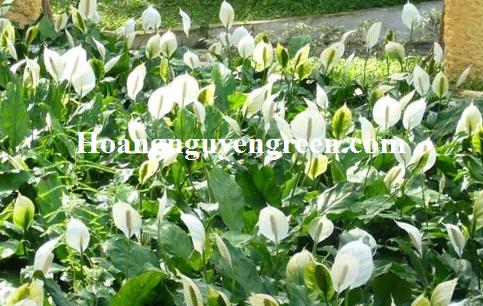 Cây lan ý trồng viền
