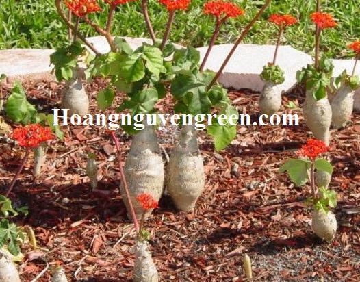 Cây ngô đồng cảnh trồng viền