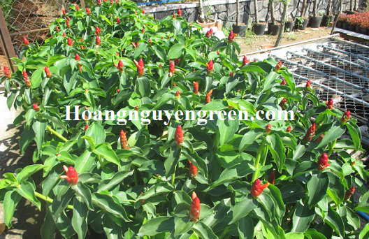 Cây phúc lộc thọ trồng viền