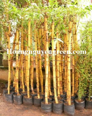 Chăm sóc cây tre vàng sọc