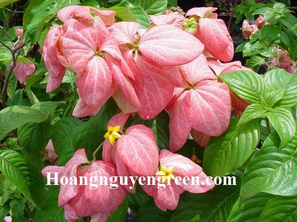 Hoa bướm hồng đẹp