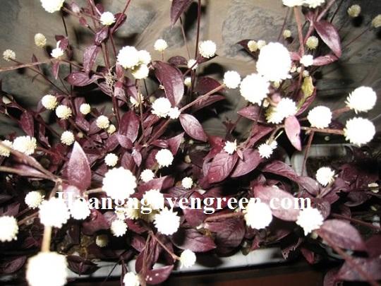 hoa cây mắt nai