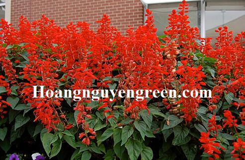 Hoa xác pháo trồng viền