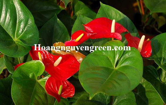 Cây hoa hồng môn trồng viền