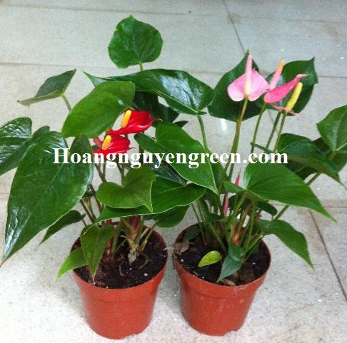 Chăm sóc cây hoa hồng môn