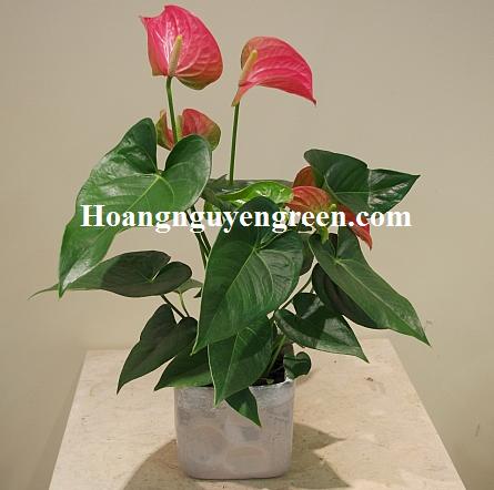 Cây hoa hồng môn trồng chậu
