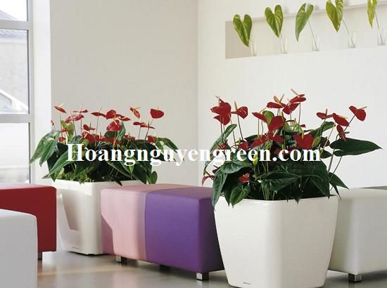 Cây hoa hồng môn nội thất