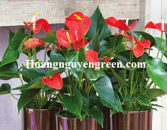 Cây hoa hồng môn nội thất đẹp